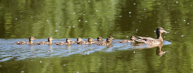 Swimming female Mallard duck (Anas platyrhynchos) with chicks