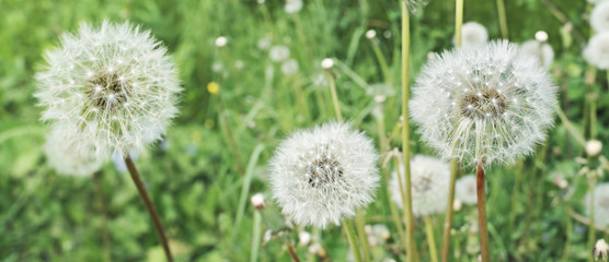 Poster Paardenbloem Dandelions. Summer field with white dandelions flowers close up