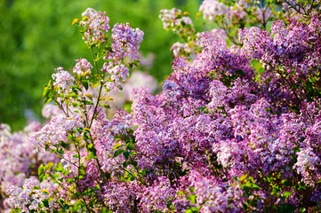 Lilac flowers in full bloom.