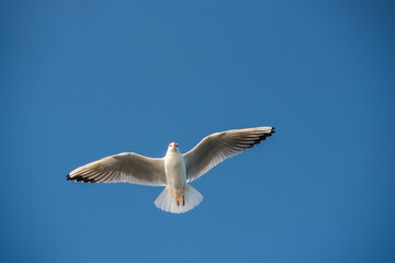 Single seagull flying in blue a sky