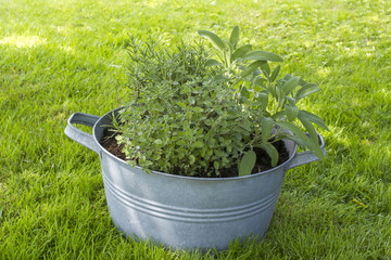 fresh herbs in old wash tubs