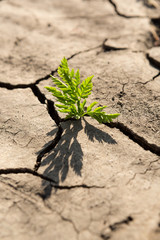 a young green plant in a dry brown earth among cracks, a concept of ecology