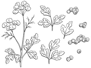 Coriander cilantro plant graphic black white isolated sketch set illustration vector
