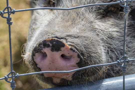 A Cute Pig close up behind a fence