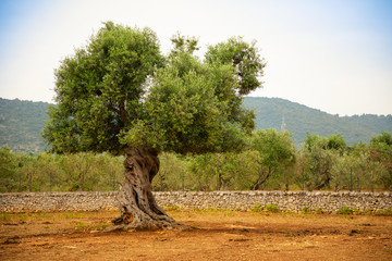 Fotobehang Olijfboom Olive plantation with old olive tree in the Apulia region, Italy