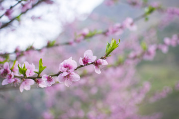Blooming Blossoms