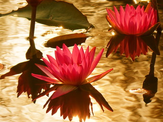 Bright Purple Lotus Flower with Sun Reflecting