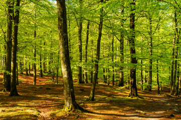 Lovely green beech forest on a sunny morning. Soderasen national park in Sweden.