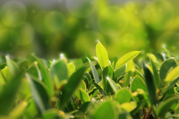 green and yellow leaves plant on blur background