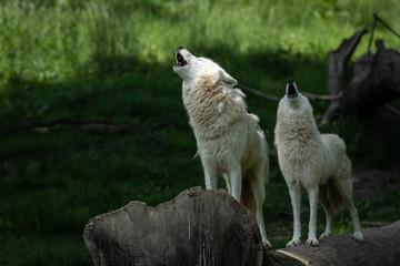 Artic Wolf Animak