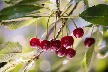 Bunch of ripe sour cherries hanging on a tree
