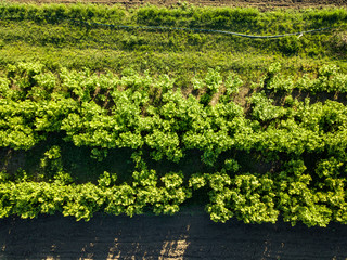 Wall Mural - Aerial view rows of young trees, growing trees for gardening. Photo from the drone