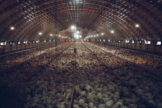 Thousands of small chickens are preparing to become human food. The interior of the chicken farm.