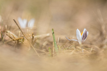 Wild crocus with water drops surrounded by spring pearls