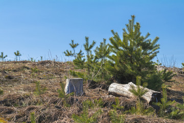 Sunny spring forest landscape with lone young pine tree on the lawn  on a sunny day