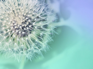 Foto op Canvas Paardenbloem Dandelion. Dandelion close up on abstract blurred background