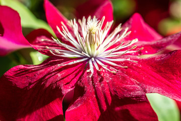 sunny closeup of beautiful Red Passion clematis flowers and pistils