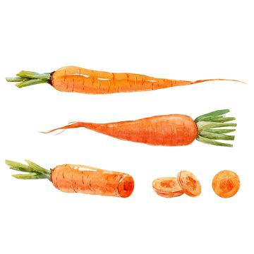 Watercolor carrot vector set