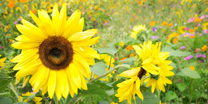 Sunflowers and wild flowers
