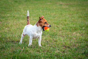Young Jack Russell Terrier on the grass.