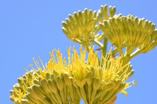 Agave cactus flower in full bloom against a blue sky