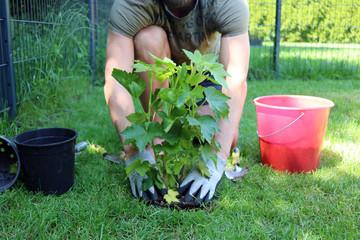 Mann pflanzt Busch im Garten an