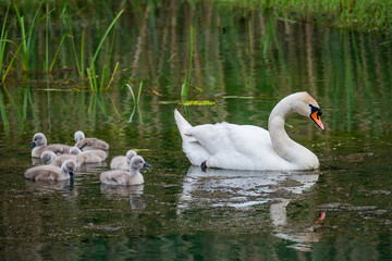 Family of swans with chicks at lake in evening, Germany