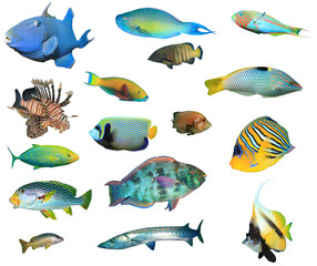 Collection tropical reef fish isolated. Fish species cutout on white background