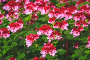 Beautiful carpet of pink blooming flowers. Texture for wallpaper or web banner. Blossoming geranium close up