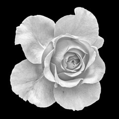 Monochrome fine art still life floral macro flower image of a single isolated flowering blooming rose blossom on black background with detailed texture