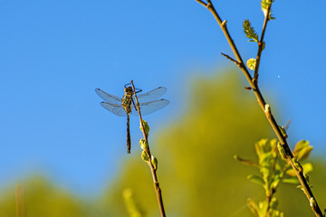 dragonfly dries its wing after her emergence