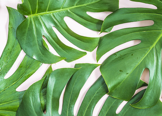 Tropical plant leaves: monstera on pink background