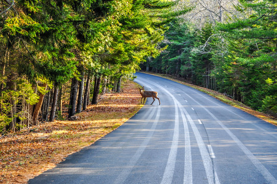 Deer Crossing in Arcadia National Park