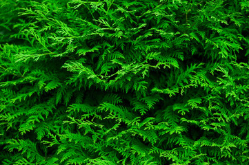 Green background with branches of thuja Wall mural