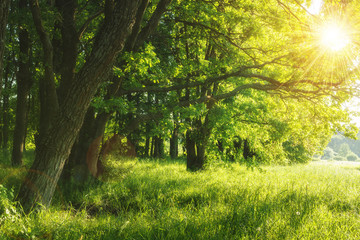 Green summer nature on sunny day. Summer background. Trees on green meadow. Warm sunlight through the trees. Leaves on branchy trees and grass. Rural scenic scene. Summer plants in outdoor.