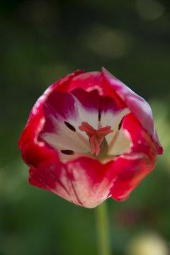 Red tulip on a dark green background