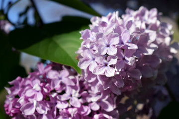Close-up of a blooming branch of lilac illuminated by sun