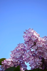 Blooming branches of lilac against the blue sky on a sunny day
