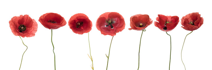 Wall Murals Poppy Three red poppies isolated