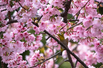 Cherry blossoms and Japanese White-eye at Ueno Park