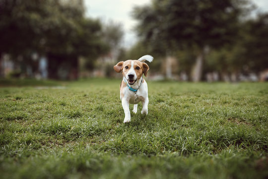 a beagle dog running straight in the grass of a park