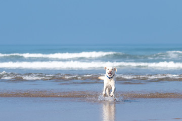 Young pure bred labrador retriever running through the waves at the beach