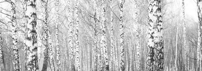 black-and-white photo with white birches with birch bark in birch grove