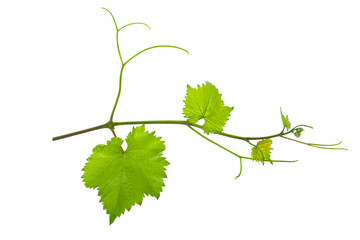 vine branch of a vine isolated on a white background Wall mural
