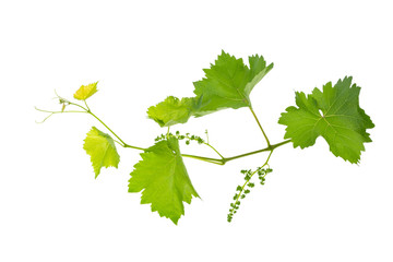 vine branch of a vine isolated on a white background