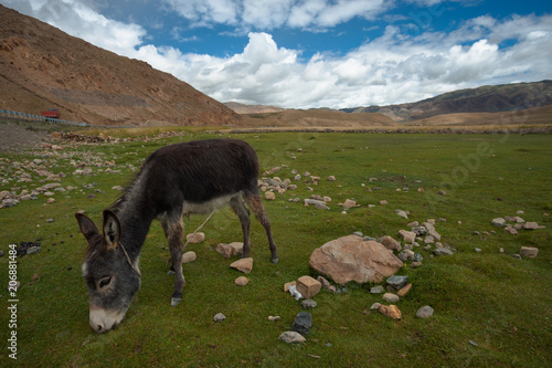 A Donkey Grazing On A Green Plateau In The Himalayas In