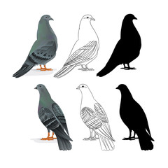 Carriers pigeons domestic breeds sports birds natural and outline and silhouette vintage  set one vector  animals illustration for design editable hand draw