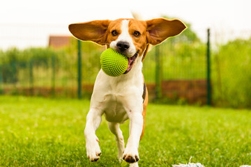 Dog Beagle having fun running and jumping with a ball in a garden