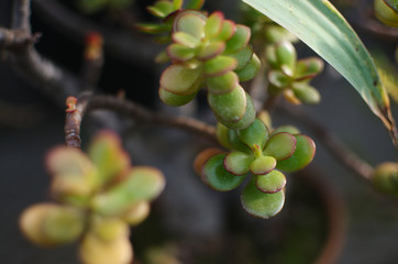 succulent green leaves