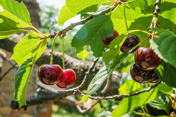 Ripe cherry fruit in the crown of the tree